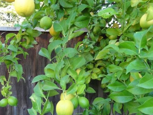 Наши лимоны