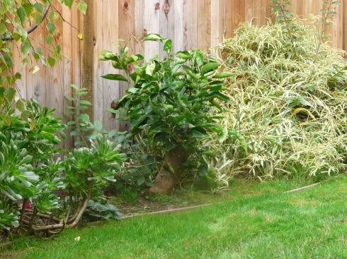 Растущее апельсиновое дерево